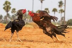 The Magnificent Photography of Roosters During their Fight They are Looking so aggressive and Beautiful in these Pictures Types Of Chickens, Pet Chickens, Livingstone, Red Pitbull, Photography Studio Decor, Rooster Breeds, Game Fowl, Game Birds, Galo