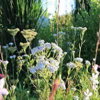 Achillea millefolium 'White Beauty'