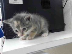 MYRTLE - ID#A463457 - URGENT - Harris County Animal Shelter in Houston, Texas - ADOPT OR FOSTER - 10 WEEK OLD Female Domestic Longhair - at the shelter since Jul 08, 2016.