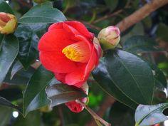 ヤブツバキ Botanical Drawings, Botanical Art, Berry Plants, Flower Bird, Daily Drawing, What A Wonderful World, Flower Pictures, Wonders Of The World, Greenery