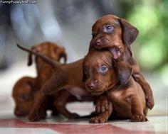 miniature doxies!  Too cute!