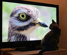 Let's just be friends.    Image: Coco the cat watching television in Southwold, Britain, on June 1 (© Frank Barrett/Rex Features)