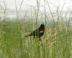 red winged blackbird in Muskogee