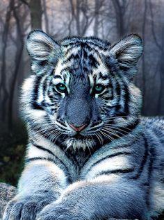 Tigre // Lindo <3
