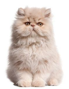 The Persian cat is a
