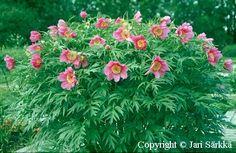Kuolanpioni - sibirisk pion - Paeonia anomala