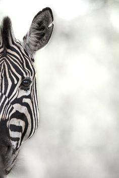 Peeping Zebra by Rudi Hulshof
