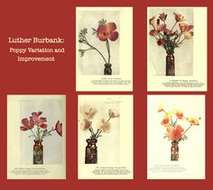Luther Burbank: California Poppy Improvement Burbank California, California Poppy, Agricultural Science, Luther, Poppies, Gallery Wall, Frame, Art, Picture Frame
