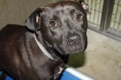Gopher: Beautiful male pit, heartworm negative, sits on death row at GCACS
