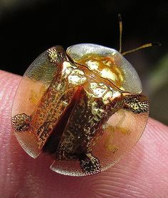 GOLDEN TORTOISE BEETLE Family: Chrysomelidae Habitat: On morning glory plants throughout North America Fun Fact: The golden tortoise beetle can change color using built-in valves that control moisture levels in their shells.
