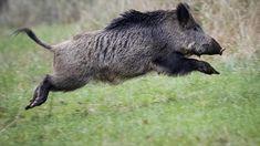prios porcos' na Polôs sofrer alegado ataque cardí Black Bear, Brown Bear, Feral Pig, Hog Pig, Boar Hunting, Photo Animaliere, Wild Boar, Wildlife Art, Wildlife Photography