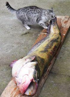 Gatto mangia il pesce che è più grande di lui!!!!!