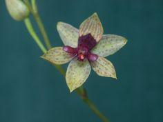 Trichoceros roseus - Another Clone
