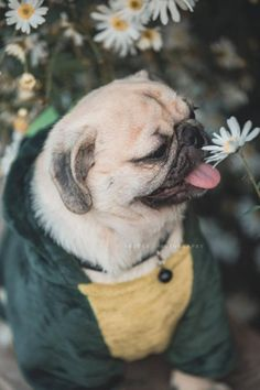Receive wonderful tips on Pugs. They are on call for you on our site. Black Pug Puppies, French Bulldog Puppies, Cute Dogs And Puppies, Cute Funny Animals, Cute Baby Animals, Animals And Pets, Pug Love, Pet Puppy, Bulldogs