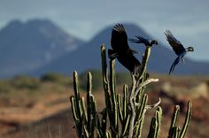 NG - A zona urbana de Canudos é próxima da área de nidificação. Um lixão atrai urubus, que comem os ovos e ameaçam os casais.