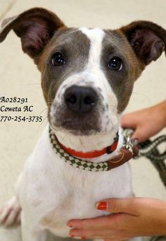 """A-3 LAST CHANCE! THIS PET WILL DIE WEDNESDAY 10/8/14 AT COWETA COUNTY ANIMAL CONTROL 770-254-3735 Hound, Terrier Mix Male  Young (5 Months per shelter notes)  Medium ID: A028291 The address is 91 Selt Road, Newnan, GA. Wow, wow and W-O-W!!!! Just take a look at this PRECIOUS fella's video!!!! I bet you will instantly fall in love! This sweet boy is super smart and already knows to """"sit"""", """"stay"""" and is learning """"down""""! He is truly the SWEETEST fella you could ever hope to meet"""