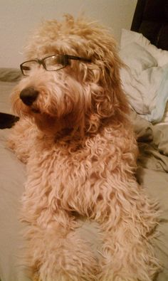 I will always own a Goldendoodle.  Best natured dog you'll ever find.  This one isn't mine but sure does look like her!