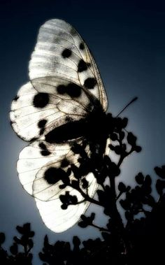 * Parnassius Apollo by Miguel Angelo - black & white, butterfly, silhouette… Papillon Butterfly, Butterfly Kisses, White Butterfly, Butterfly Wings, Beautiful World, Animals Beautiful, Images Esthétiques, Image Nature, Mundo Animal