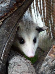 Shy but curious baby opossum - Ohlone Humane Society Wildlife Rehabilitation Center, Fremont CA