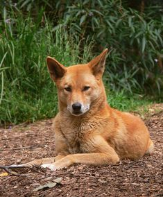 An Australian Dingo, Canis lupus dingo, taken at a wildlife sanctuary/rescue center in South-eastern Australia. Animals Beautiful, Cute Animals, Beautiful Creatures, African Wild Dog, Australia Animals, Wild Dogs, Animal Kingdom, Mammals, Dog Breeds