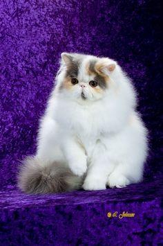 Stunning Persian Cat from Katzeye Persians!  This girl is soooooo beautiful!!!