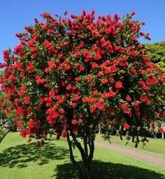 Another bottle brush for the front Flowering Bushes, Trees And Shrubs, Trees To Plant, Fast Growing Shrubs, Fast Growing Evergreens, Desert Trees, Street Trees, Garden Of Earthly Delights, Side Garden