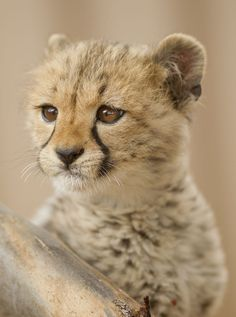 Cheetah - Monarto Zoo - Australia - photo credit: David Mattner for Monarto Zoo