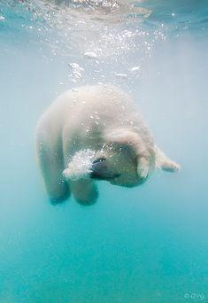 Fotografie: Niedliche Unterwasser-Eisbären