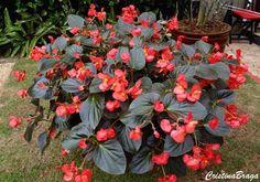 A Begonia e uma herbácea, pertence a família Begoniaceae, nativa do Brasil, perene, ereta, suculenta, de 15 a 20 cm de altura. Folhas espessas, avermelhadas