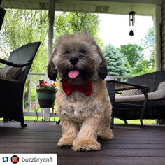 ❤️Bentley is perfection in his red bow tie! #Repost @buzzbryan1 with @repostapp. ・・・ Chillin on the deck with my new @thruffty_pup bow tie on....#lazysunday #lhasaapso #bentley #dapperdawg #dailydog #cutestpet #tomismyfriend #lhasaapsodogs #petsofinstagram #pupstagrams #wagaware #godblessamerica #fluff #dailydog #dogbowties #weekend #thRUFFtyPup
