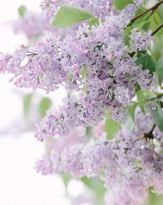 Lilacs | spring flowers | en masse