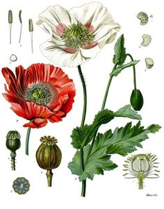 Poppy, Breadseed, circa 1887