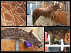 Amazing equine body clipping job - horse transformed into giraffe - Bluff Springs Riding Center