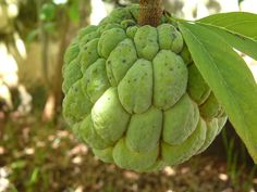 Sugar Apple, Custard apple or Sitaphal is a sweet pulpy fruit with a hard many sectioned protuberant rind. Learn about the many health benefits this aromatic fruit, also called bullock's heart, offers. Exotic Fruit, Tropical Fruits, Tropical Plants, Green Fruit, Fruit And Veg, Fruits And Veggies, Weird Fruit, Strange Fruit, Sugar Apple Fruit