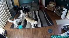 Oakley, the oldest of these three Siberian Huskies, clearly shows she still has a ton of spunk left in her. After setting up a hidden camera, her owners