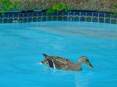 https://flic.kr/p/vzwP7h | Momma Duck Goes for a Swim