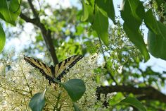 Swallowtail meets lilac at Riverview Park in Pittsburgh by Melissa @ Pittsburgh Parks Conservancy, via Flickr