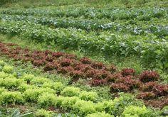 Repelente natural para horta doméstica