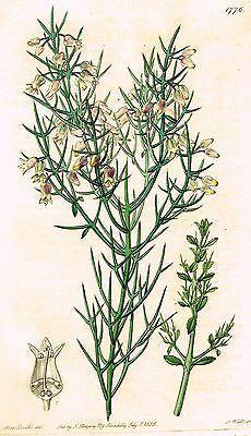 "Syd Edward's ""BRISTLING COLLETIA"" from ""Botanical Register"" - 1835"