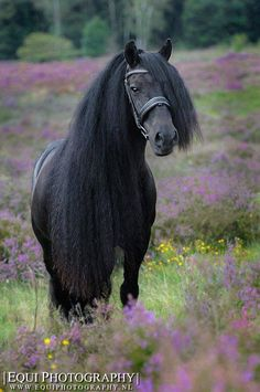 Friesian horse stands in heather colored field