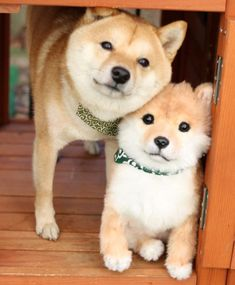 Shiba Inu Japanese 🐕 and pup Cute Dogs And Puppies, Baby Dogs, Pet Dogs, Dog Cat, Adorable Puppies, Corgi Puppies, Weiner Dogs, Cute Funny Animals, Cute Baby Animals