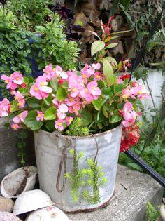 Galvanized bucket of pink wax begonias.