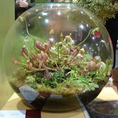 I think I need to create one of these, and soon.Gorgeous terrarium- I think I need to create one of these, and soon.terrarium- I think I need to create one of these, and soon.Gorgeous terrarium- I think I need to create one of these, and soon. Mini Terrarium, How To Make Terrariums, Terrarium Plants, Succulent Terrarium, Succulents Garden, Planting Flowers, Belle Plante, Decoration Plante, Pitcher Plant