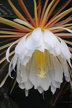 ~~Little finger-sized inconspicuous cactus has huge astounding flowers... for only one night! ~ Night Blooming Cereus by jungle mama~~