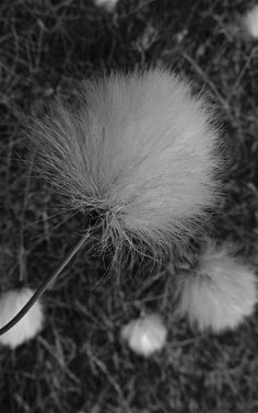 Cotton grass. Photo: Åse Margrethe Hansen