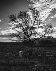 #Platon #árbol y #sol  #greatpyrenees #nature #naturaleza #landscape #dogstagram #b&w #blackandwhite