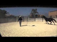 Warwick Schiller starting a Warmblood stallion part 1
