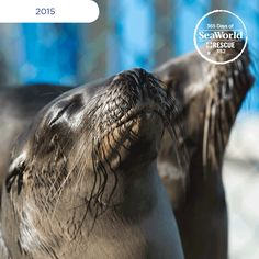 What a beauty! This sea lion is one of more than 800 that SeaWorld San Diego rescued during the #2015SeaLionCrisis.  #365DaysOfRescue