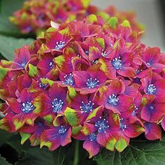 Can I get this in USA?    Hydrangea macrophylla 'Glam Rock' (Horwack) - 1 x 9cm potted plant