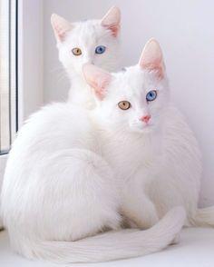 Identyczne kociaki z heterochromią – tak uroczy widok nie zdarza się często!